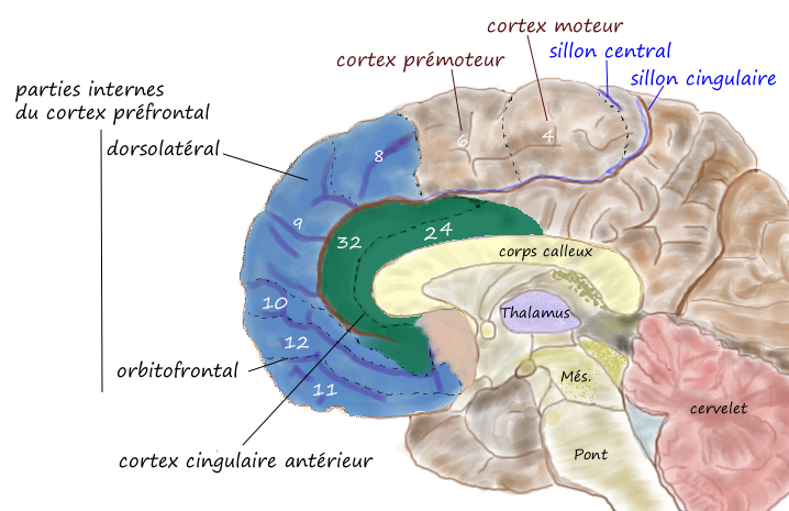 Le néocortex orbito-frontal